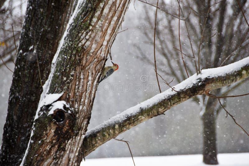O pica-pau inchado vermelho empoleirou-se em uma árvore em uma tempestade da neve foto de stock royalty free