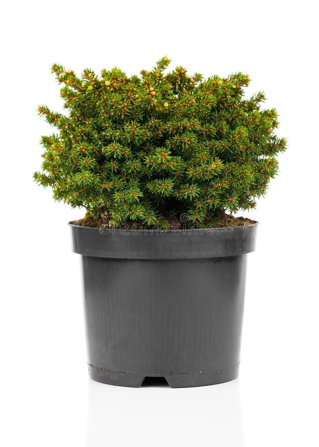 O Picea abies imagens de stock