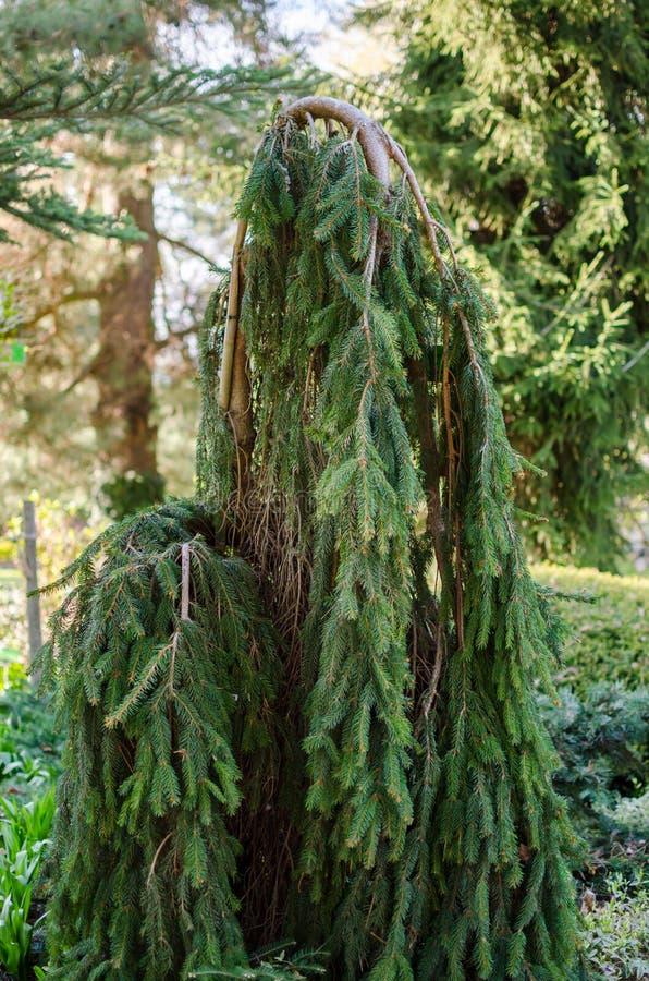 O Picea abies, o abeto vermelho de Noruega ou a árvore europeia do abeto vermelho O Picea abies 'Inversa 'no jardim botânico no P fotos de stock royalty free
