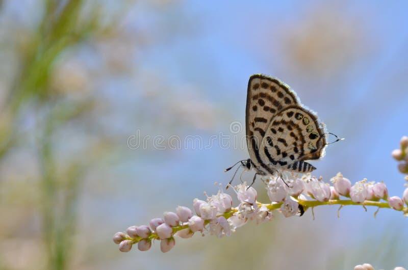 leopárd parazita orvosság