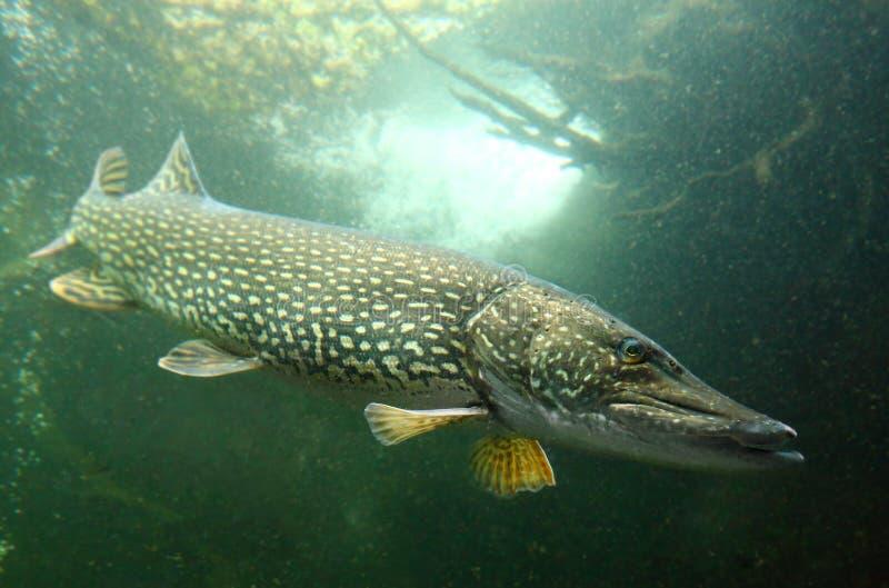 O Pike (Esox Lucius). imagem de stock