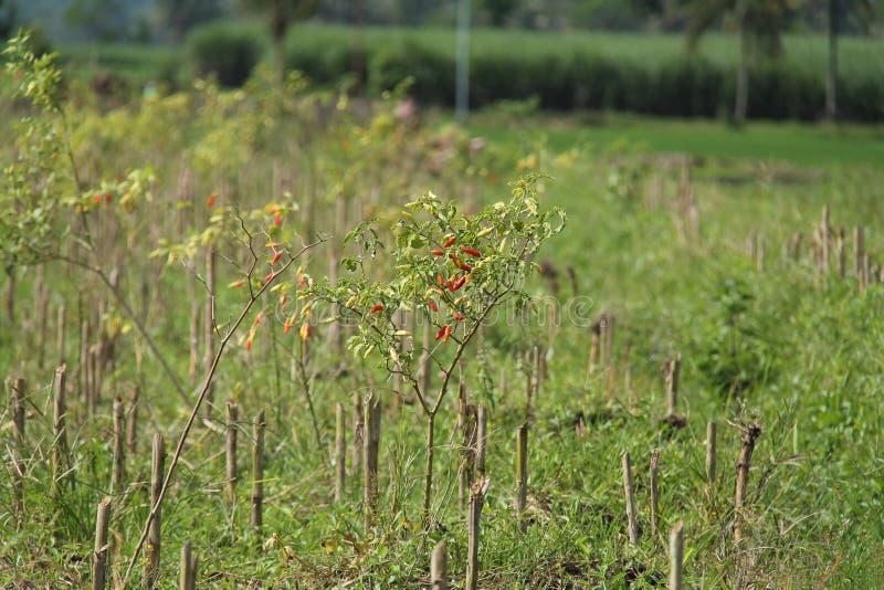O pimentão é o fruto das plantas gênero capsicum, versão 8 imagem de stock royalty free