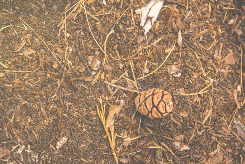 O pinecone do milho do pinho caiu para baixo um a terra na madeira no parque nacional de sequoia foto de stock royalty free