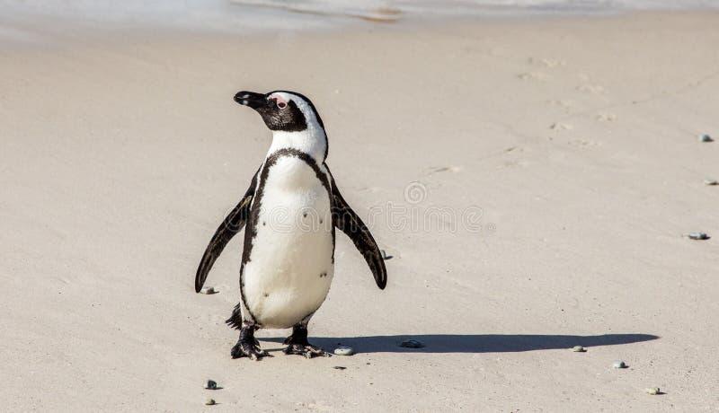 O pinguim africano está em um Sandy Beach em uma pose engraçada Cidade do ` s de Simon Praia dos pedregulhos África do Sul imagem de stock royalty free
