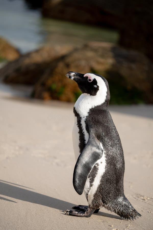 O pinguim africano na areia em pedregulhos encalha em Cape Town, África do Sul fotos de stock