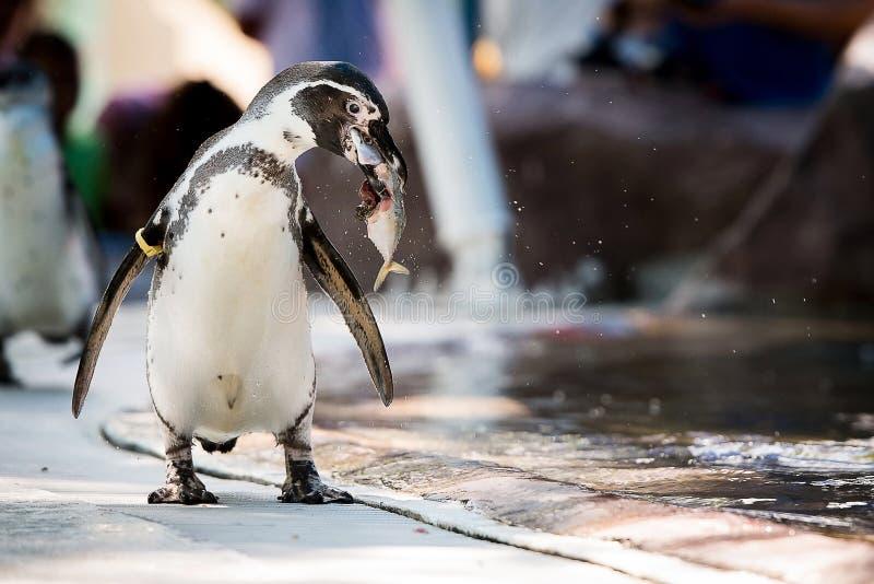 O pinguim come peixes imagem de stock