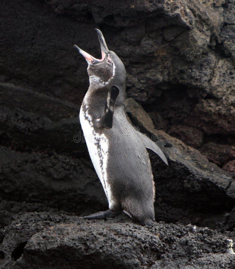 O pinguim de Galápagos chama fotografia de stock