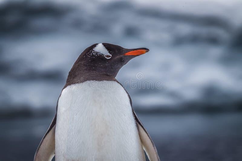 O pinguim de Gentoo olha o direito da câmera imagem de stock royalty free