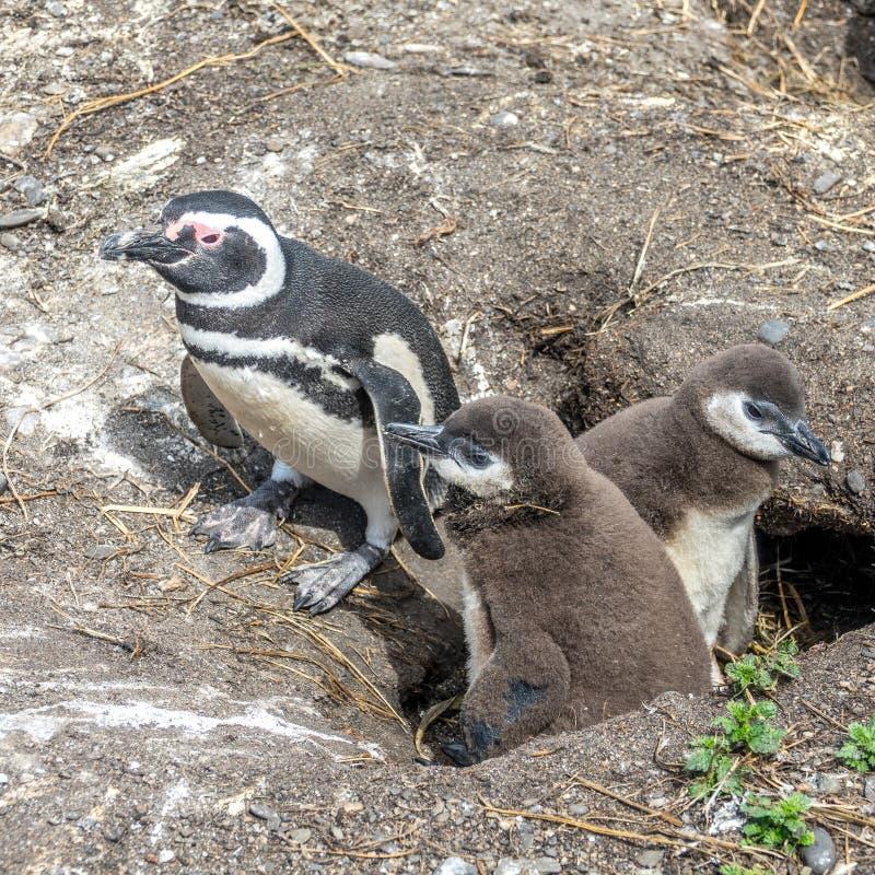 O pinguim de Magellanic imagem de stock