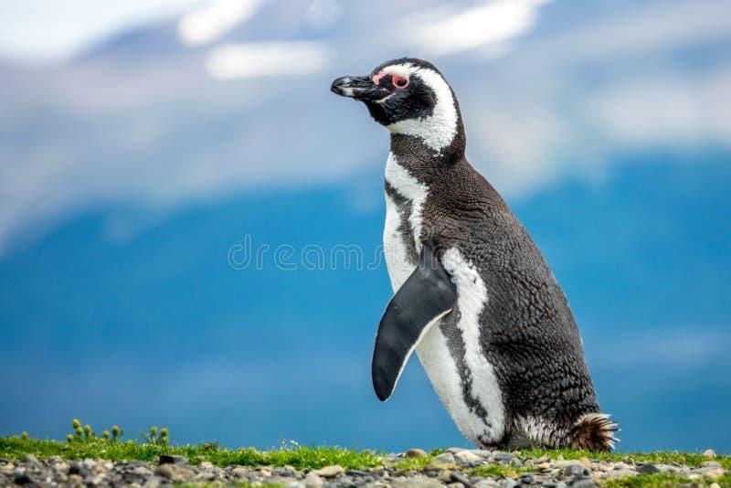 O pinguim de Magellanic foto de stock