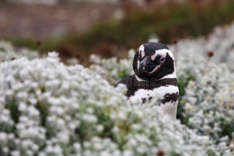 O pinguim de Magellanic olha fora da grama alta foto de stock