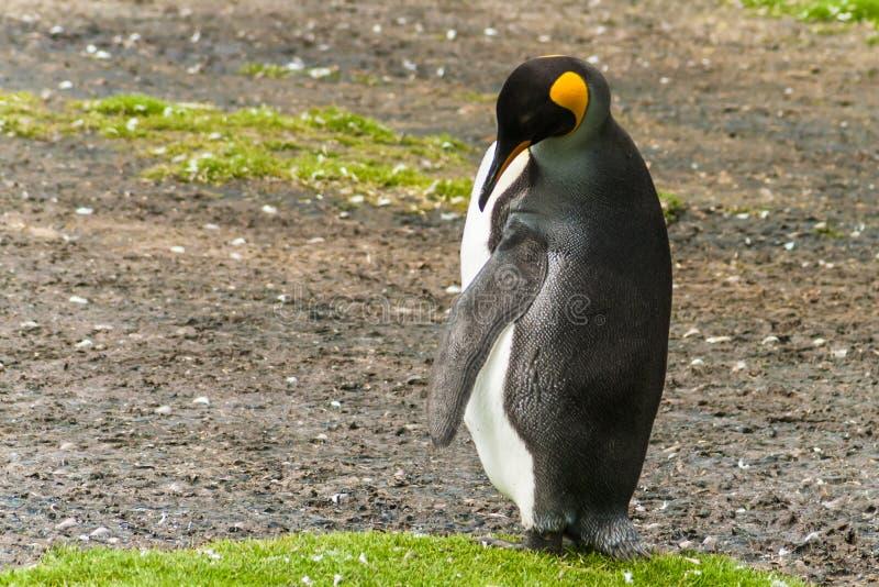 O pinguim de rei masculino solitário limpa penas imagem de stock