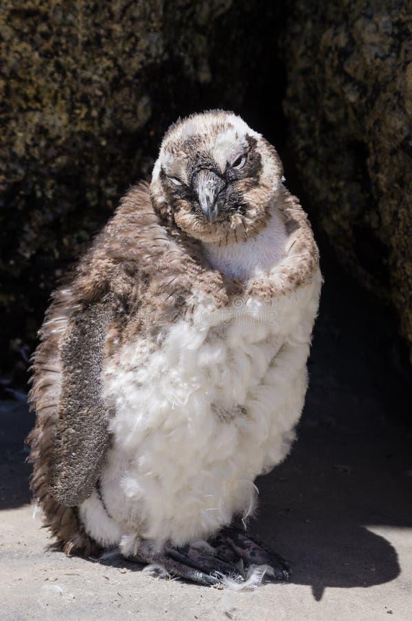 O pinguim morno africano do bebê do tempo em pedregulhos encalha foto de stock royalty free