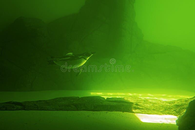 O pinguim nada debaixo d'água em uma água verde imagens de stock royalty free