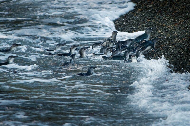 O pinguim pequeno - menor de Eudyptula - no korora maori, grupo de pinguins retorna à costa do mar para alimentar seu pintainho imagem de stock royalty free