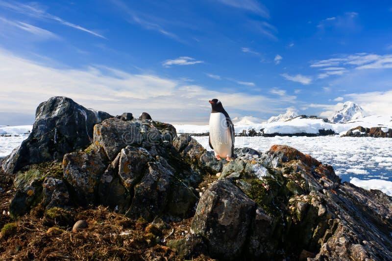 O pinguim protege seu ninho foto de stock royalty free