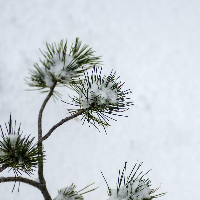O pinheiro de Ponderosa do bebê resiste à tempestade fotos de stock