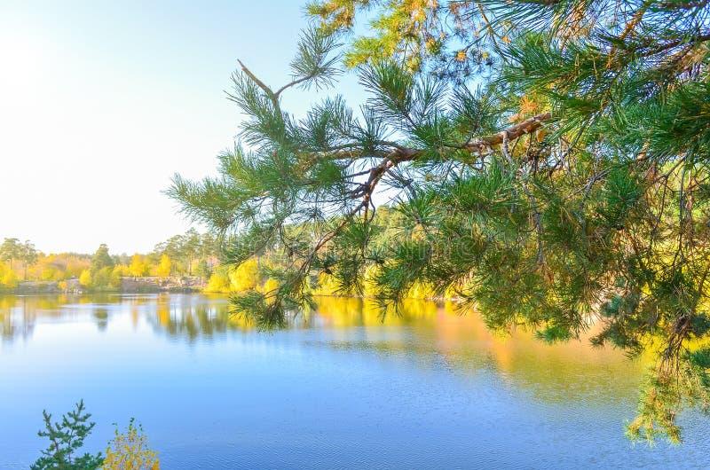 O pinho ramifica em um fundo de uma lagoa e de uma floresta amarela do outono em um dia claro fotografia de stock
