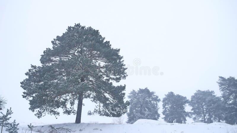 O pinho só da árvore de Natal cresce na paisagem da floresta da natureza da tempestade da neve do inverno foto de stock royalty free