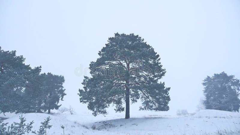 O pinho só da árvore de Natal cresce na paisagem da natureza da floresta da tempestade da neve do inverno foto de stock