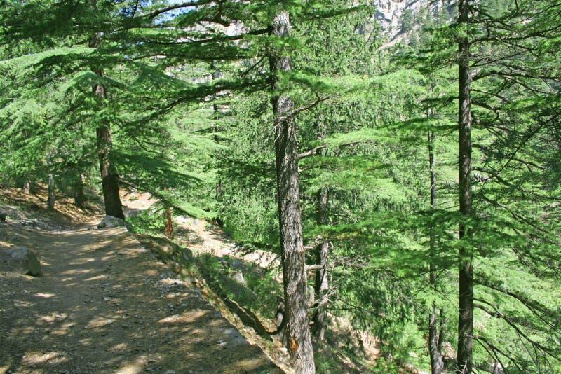 O pinho scented a fuga himalayan da floresta imagem de stock