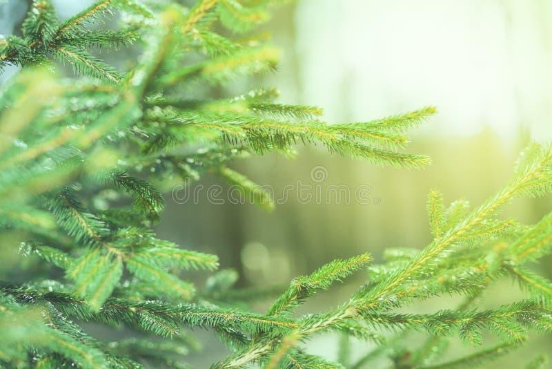 O pinho verde fresco ramifica na floresta ensolarada imagens de stock