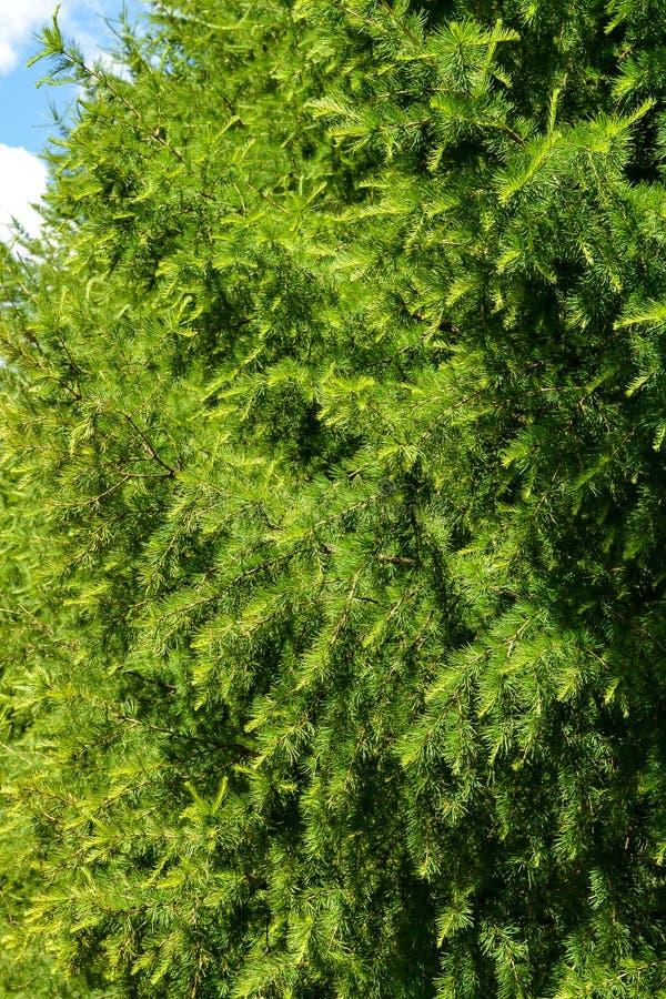 O pinho verde ramifica close-up contra o céu azul foto de stock