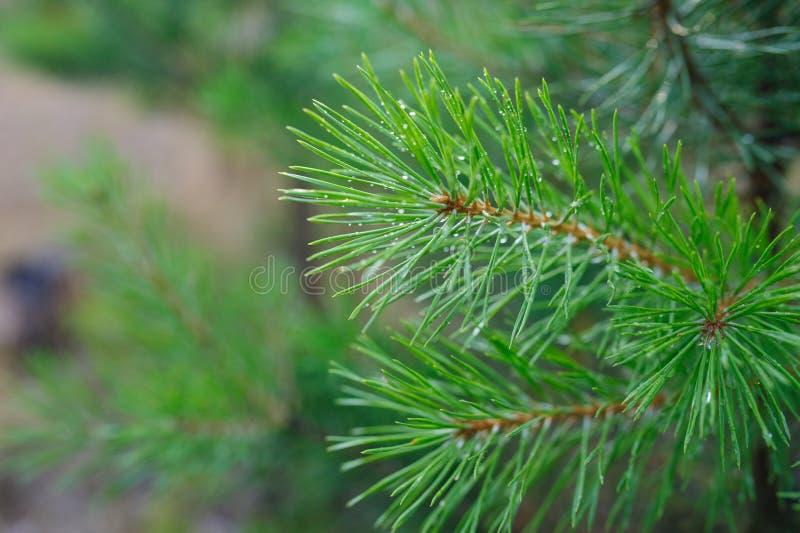 O pinho verde ramifica com gotas do orvalho no parque imagem de stock