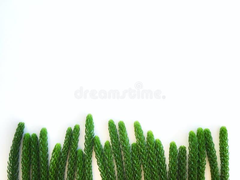 O pinho verde sae para o isolado da árvore de Natal no fundo branco fotografia de stock