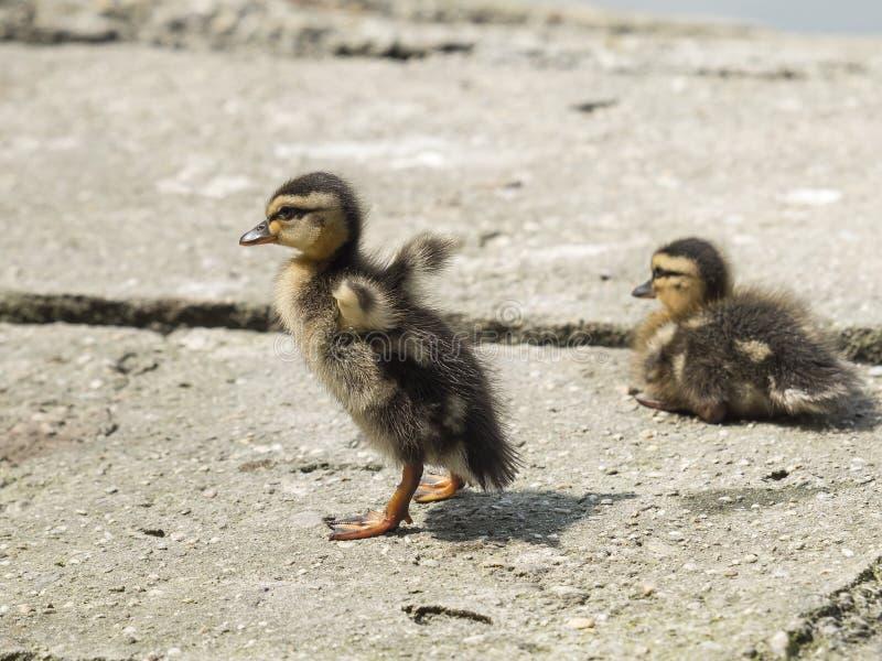 O pintainho do pato selvagem anda longe de seu irmão foto de stock
