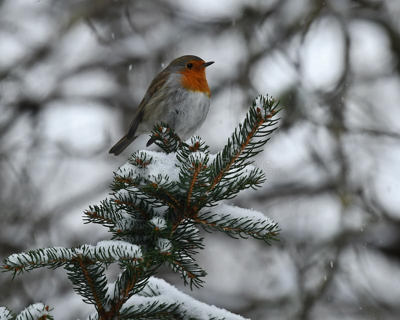 O pisco de peito vermelho europeu, rubecula do Erithacus senta-se em um ramo nevado do abeto