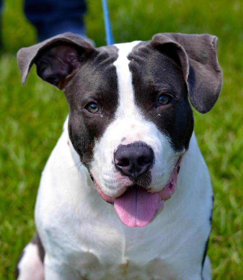 O Pitbull Terrier fotografia de stock royalty free