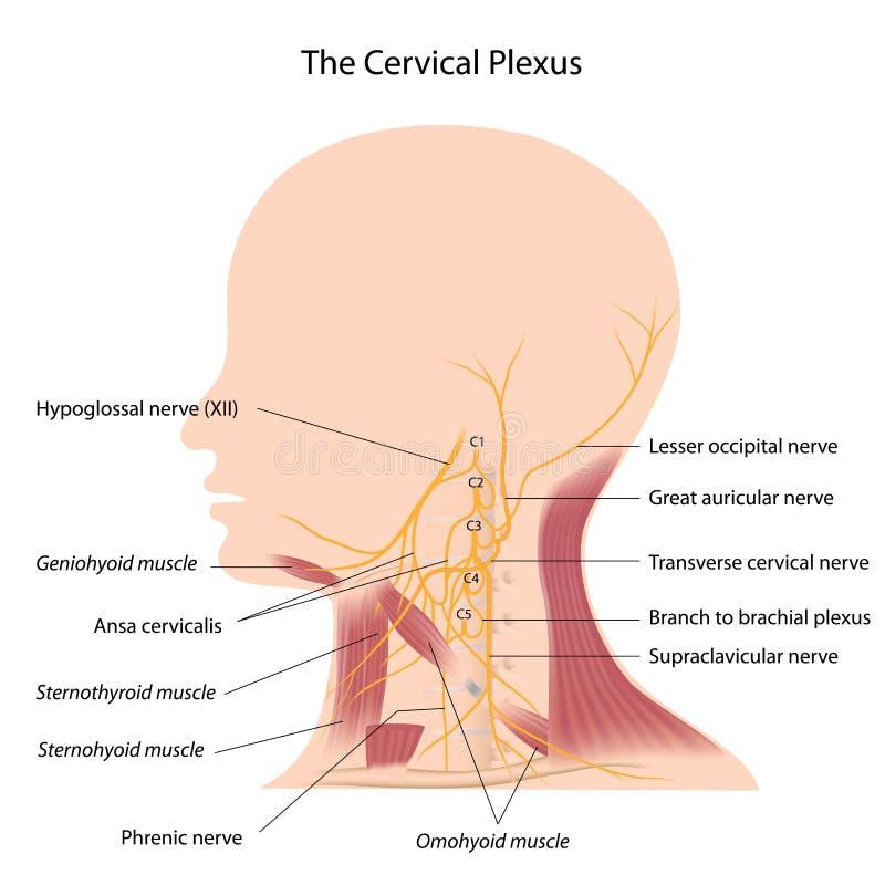 O plexo cervical ilustração do vetor