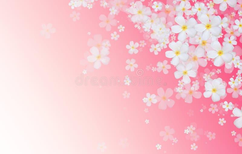 O Plumeria branco ou o Frangipani florescem na parte traseira cor-de-rosa da cor do inclinação ilustração do vetor