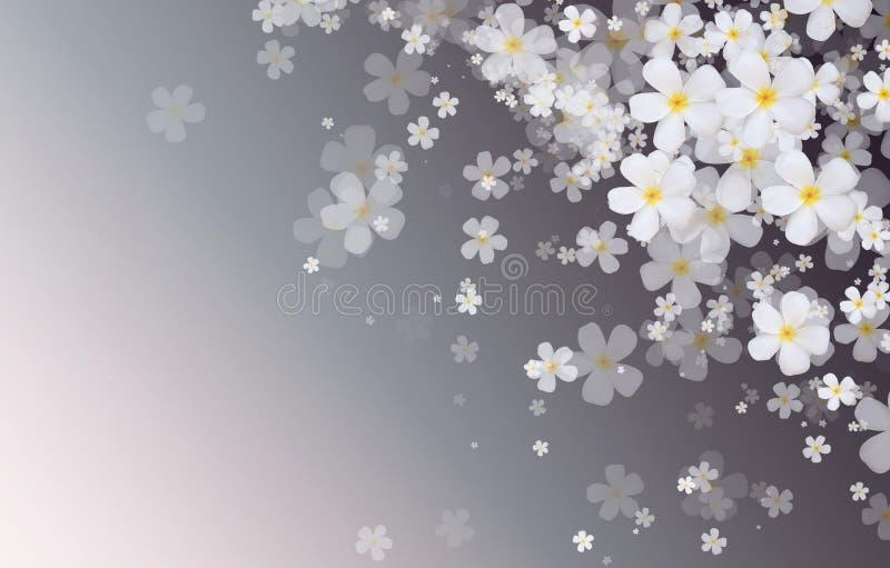 O Plumeria branco ou o Frangipani florescem na parte traseira azul da cor do inclinação ilustração stock