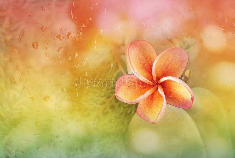 O Plumeria ou a flor do frangipani com sumário borraram o fundo r foto de stock royalty free