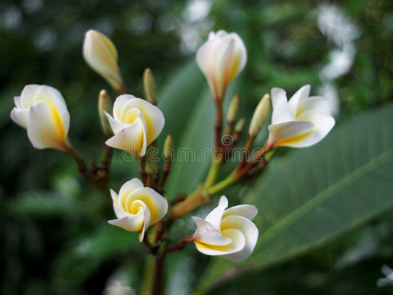 O Plumeria, termas exóticos do estilo de BALI do cheiro do aroma de Templetree floresce imagem de stock royalty free