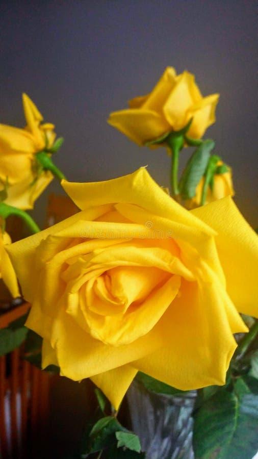 O poder de um amarelo da rosa imagem de stock