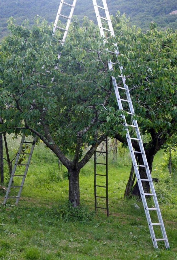 O pomar com escada sustentou às árvores de fruto durante o harve foto de stock royalty free
