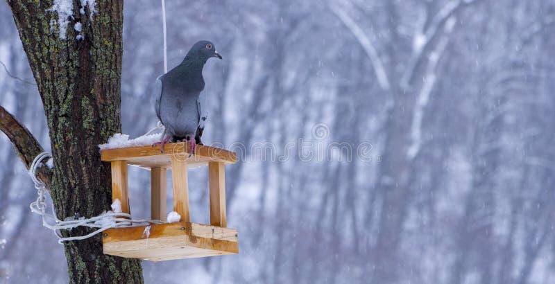 O pombo em uma calha de alimentação no inverno imagens de stock