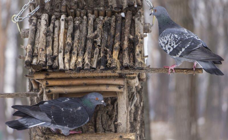 O pombo em uma calha de alimentação no inverno foto de stock royalty free