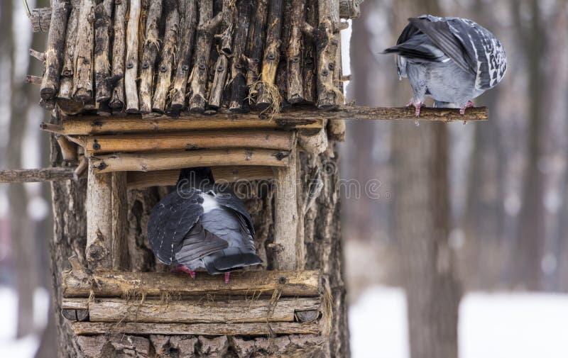 O pombo em uma calha de alimentação no inverno foto de stock