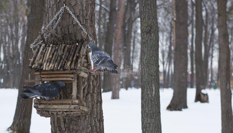 O pombo em uma calha de alimentação no inverno fotos de stock