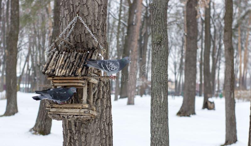 O pombo em uma calha de alimentação no inverno imagem de stock royalty free