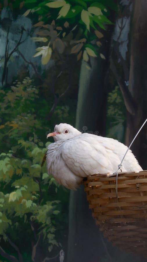 O pombo o mais bonito imagens de stock royalty free