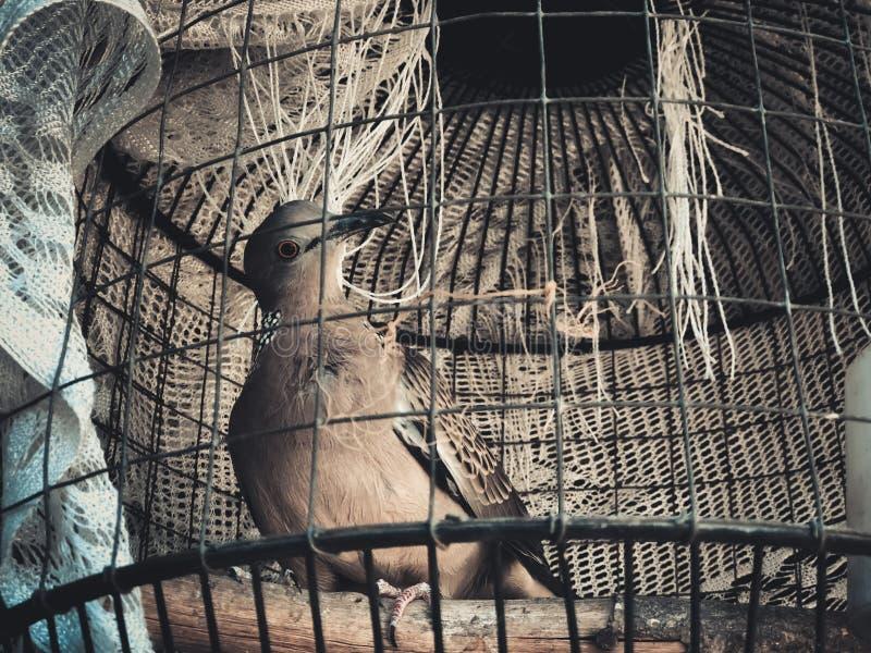 O pombo, rola, mergulhou diamante prendido na gaiola imagens de stock royalty free