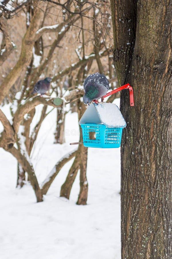 O pombo senta-se em uma calha de alimentação do inverno e olha-se atentamente fotos de stock royalty free