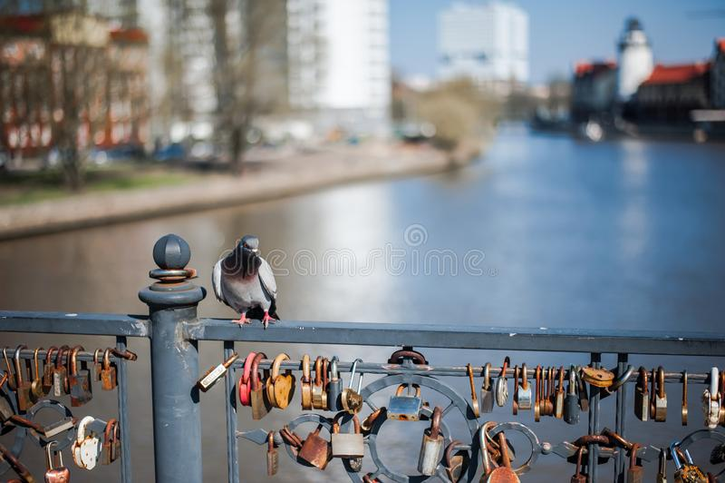 O pombo senta-se em uma ponte com fechamentos do casamento imagem de stock