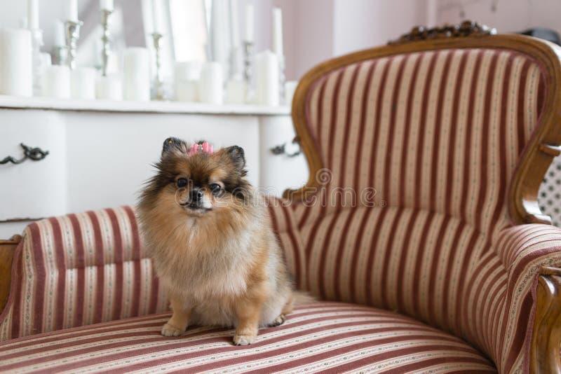 O Pomeranian é uma raça do cão do tipo do Spitz sabido frequentemente como um Pom Animal de estimação que senta-se em uma cadeira fotografia de stock royalty free