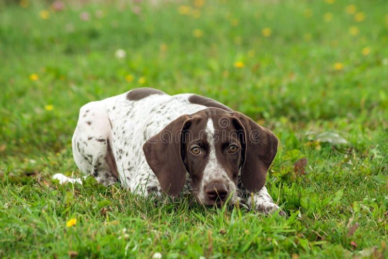 O ponteiro de cabelos curtos alemão, um cachorrinho manchado marrom kurtshaar encontra-se na grama verde foto de stock